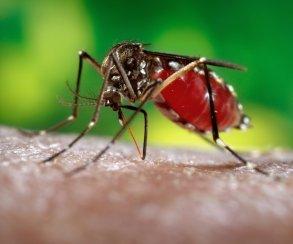Они сделалиэто! Alphabet уничтожит комаров-переносчиков Зика-вируса